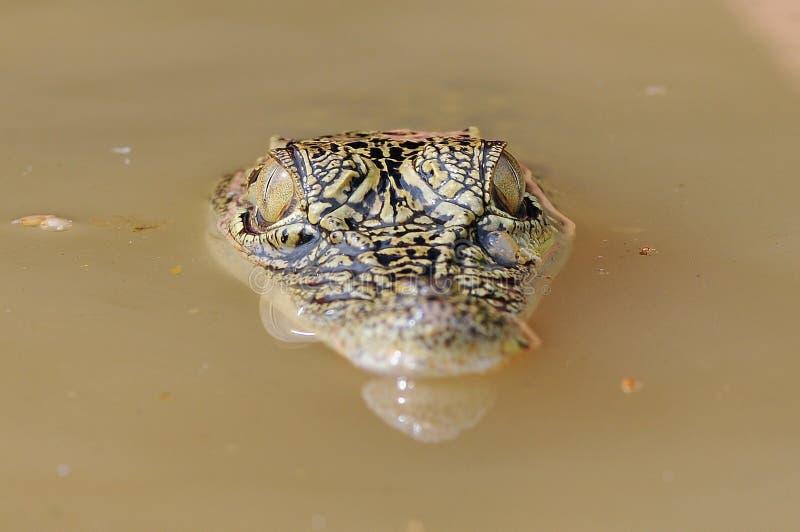 Krokodyl w wodzie zdjęcia royalty free