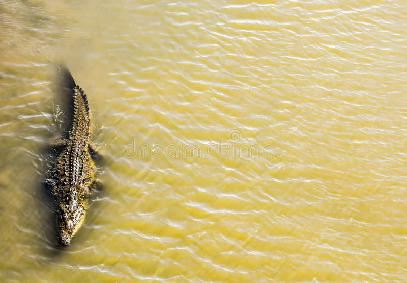 krokodyl w wodzie, w costa rica centrali America obraz royalty free
