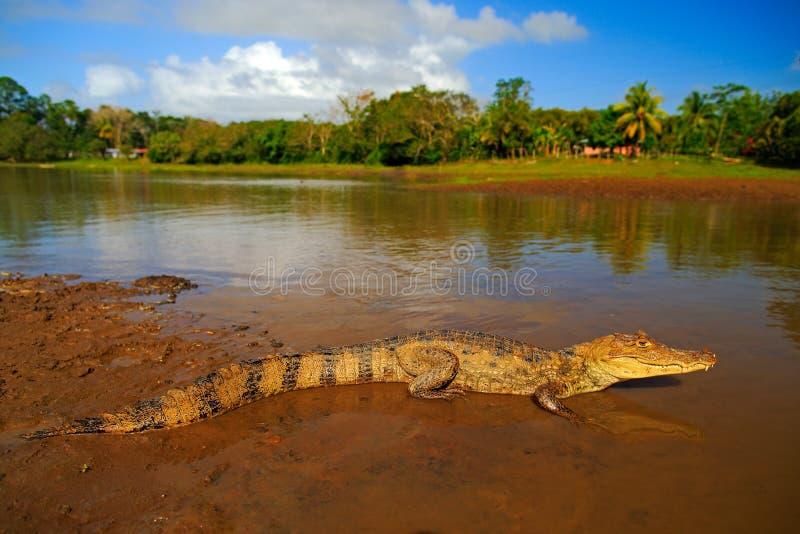 Krokodyl w wodzie rzecznej Spectacled Caimani, Caiman crocodilus woda z wieczór słońcem Krokodyl od Costa Rica niebezpieczeństwo zdjęcia royalty free