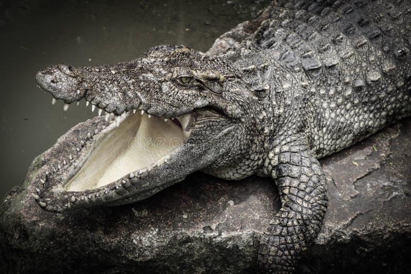 krokodyle obraz royalty free