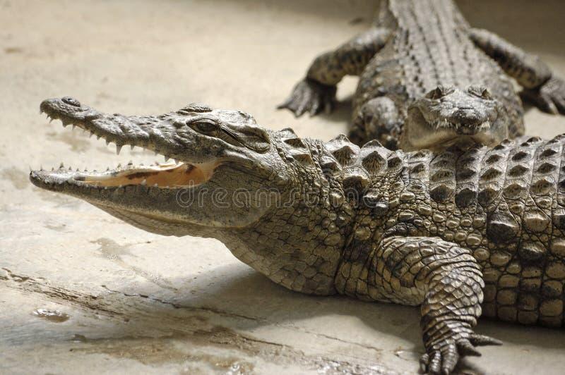 krokodyle dwóch młodych obraz stock