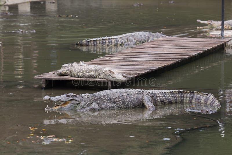 Krokodyle w dużym stawie krokodyla gospodarstwo rolne obraz royalty free