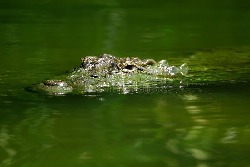 Krokodyli zanurzający oczy zdjęcie stock