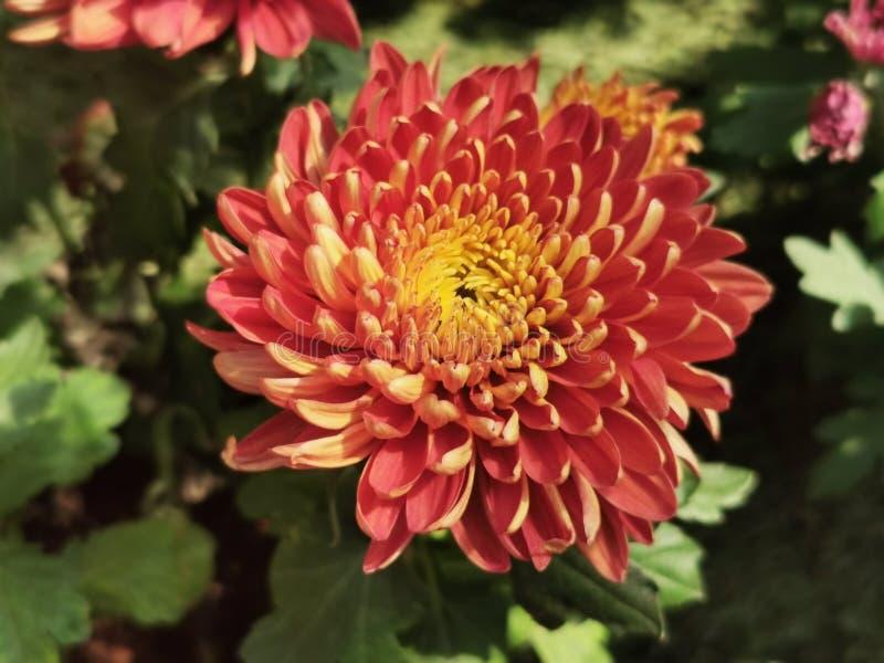 Krokosz, kwiat, czerwień zdjęcie royalty free