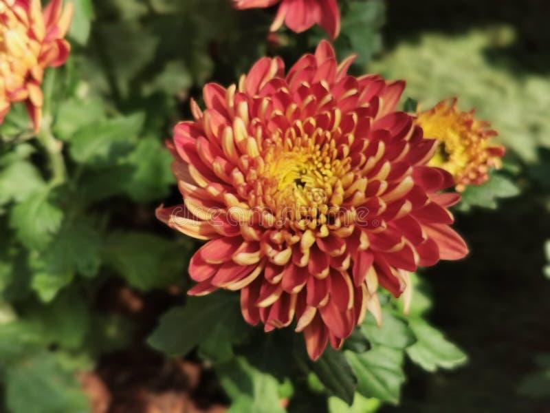 Krokosz, kwiat, czerwień obrazy royalty free