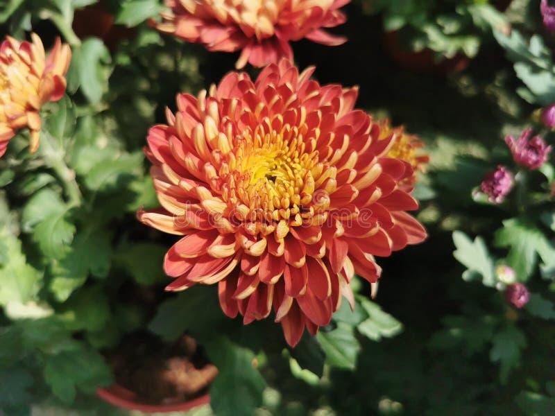 Krokosz, roślina, kwiat, czerwony kwiat zdjęcia stock