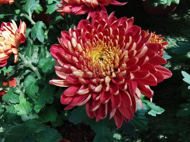Krokosza kwiat, czerwień zdjęcie royalty free