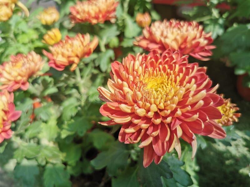 Krokosza kwiat, czerwień, trawa zdjęcia royalty free