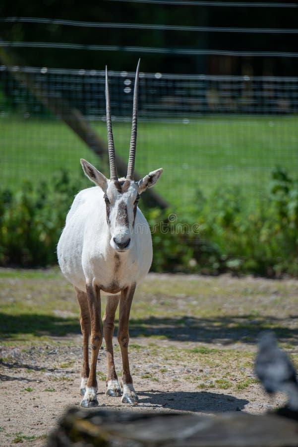 Kroksabel-horned oryxantilopanseende arkivfoto