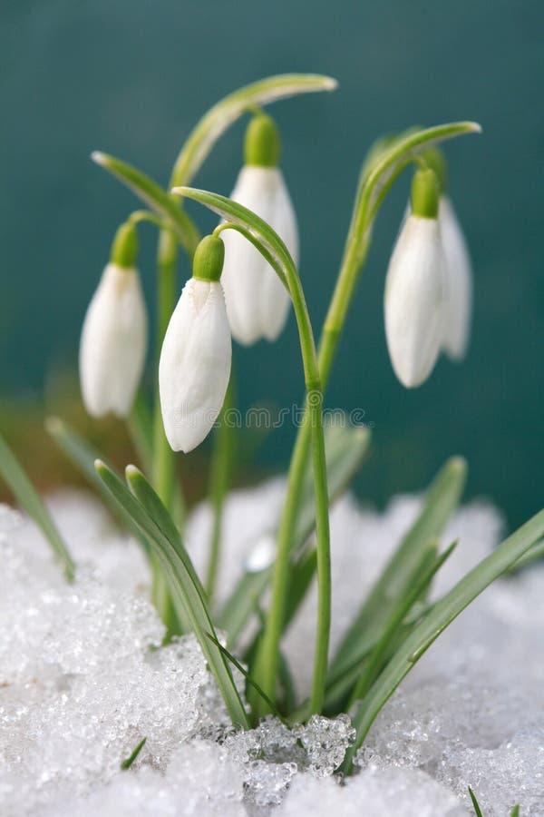 krokus śnieżyczki zdjęcia stock