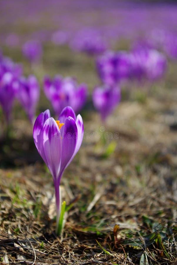 Download Krokus obraz stock. Obraz złożonej z violetta, światło - 13341651
