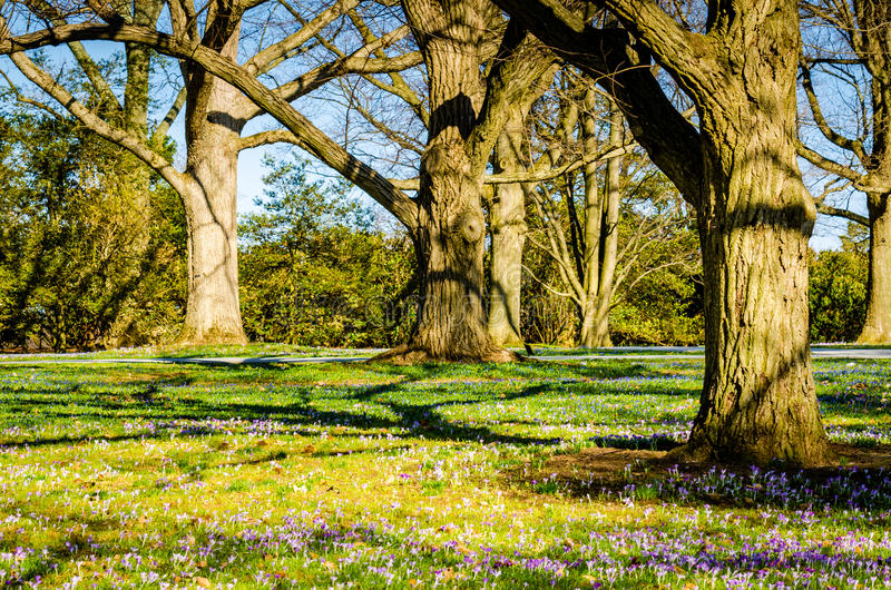 Krokus blüht - Longwood-Gärten - PA lizenzfreie stockfotografie