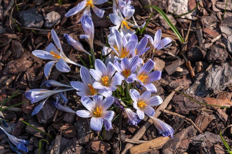 Krokus-blaue Perle auf unscharfem Hintergrund frech Frühling lizenzfreies stockfoto