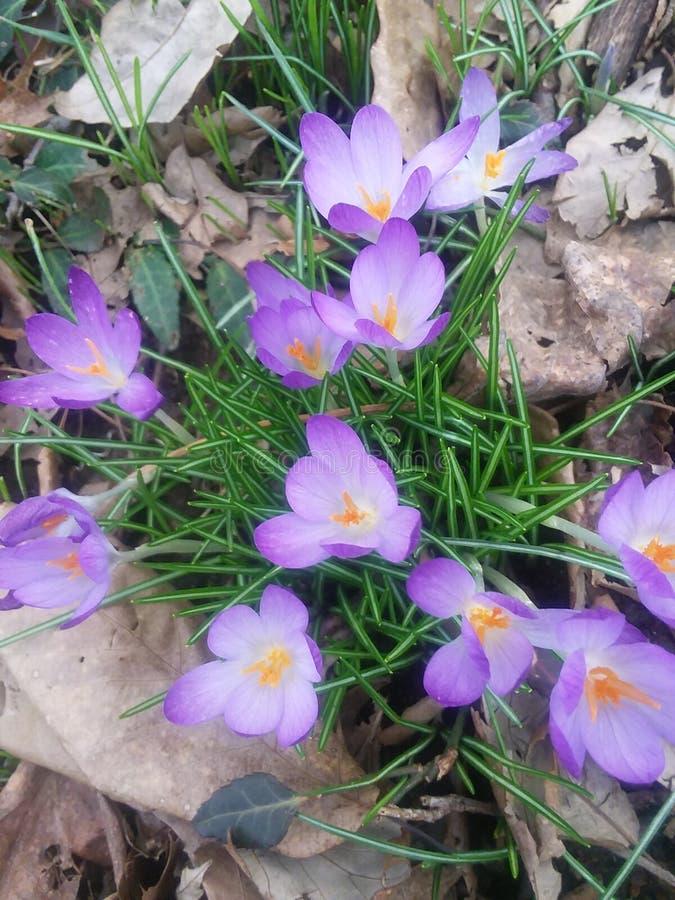 krokus blommar först vektorn för fjädern för blommaillustrationsnow royaltyfri foto
