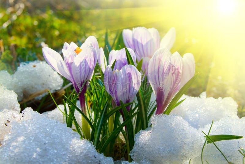 krokus blommar purple arkivfoto