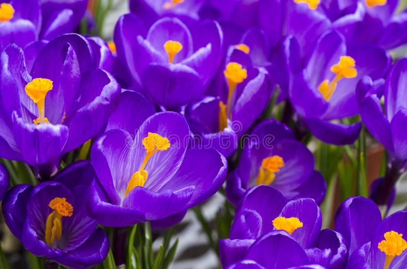 krokus blommar purple royaltyfri bild