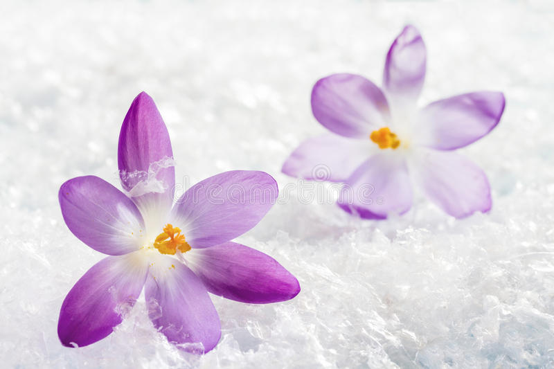 krokus blommar springtimesolsken arkivfoto
