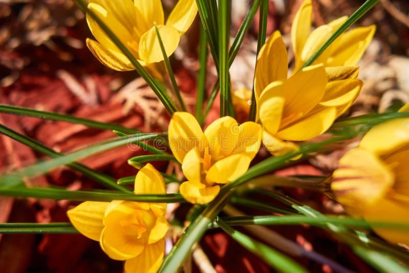 krokus blommar yellow royaltyfri fotografi