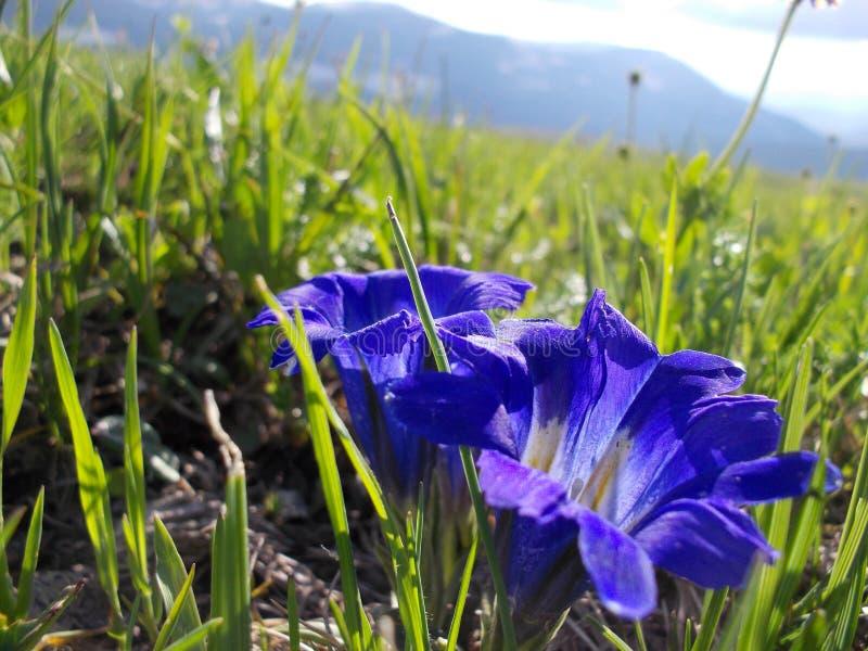 Krokus-Blume nahe Berg Korolevsky Belok lizenzfreie stockfotos