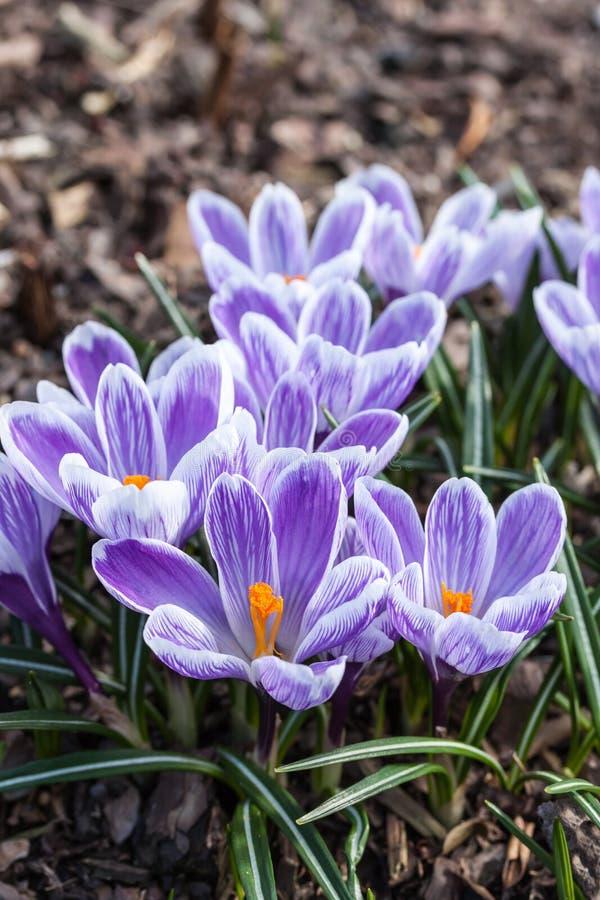 Krokus in de lente royalty-vrije stock fotografie