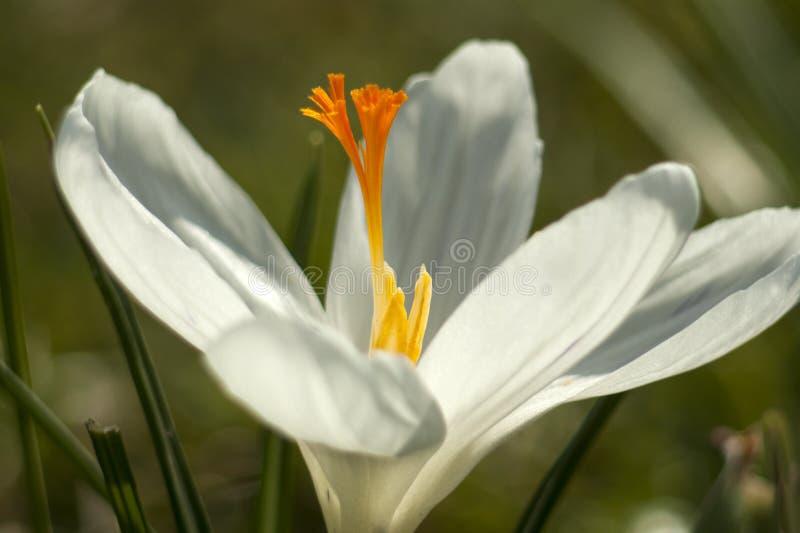 Krokus in de lente stock afbeeldingen