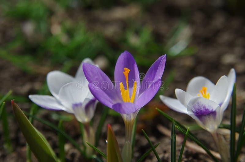 Krokus fjädrar blommor royaltyfri fotografi
