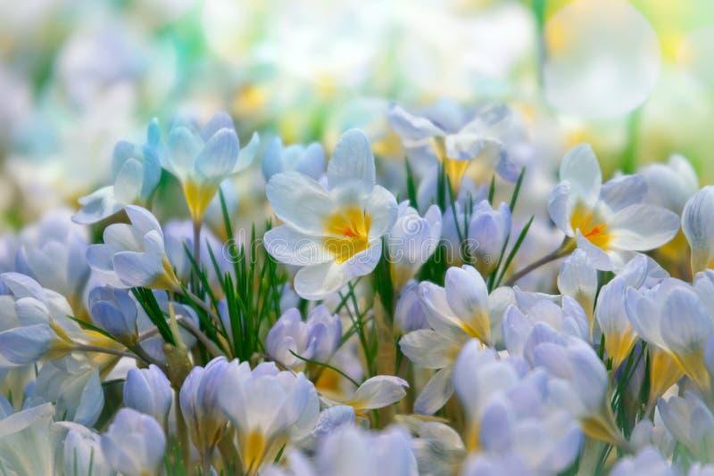 Krokus fjädrar blommor royaltyfri foto