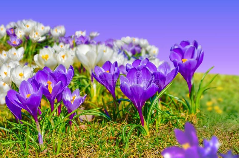Krokus fj?drar blommor blomma tr?dg?rd Vit och violett blomningäng royaltyfri bild