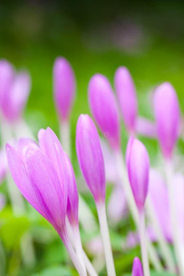 krokus Helle violette Frühlingsblumen auf grüner Wiese lizenzfreies stockfoto