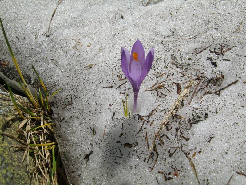 Krokus i den Rila nationalparken, nära skakavicavattenfallet royaltyfri foto