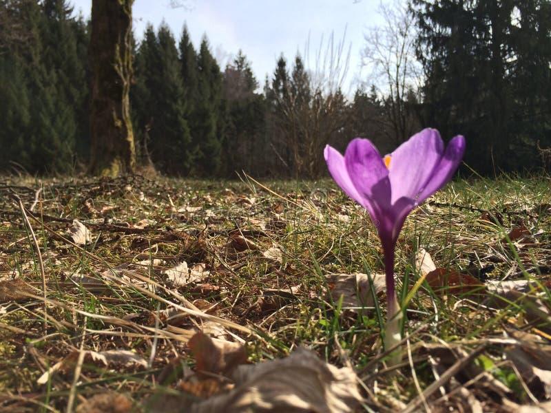 krokus i skog arkivfoto