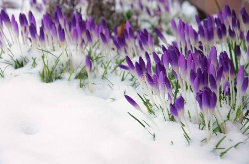 Krokus i snö arkivbilder