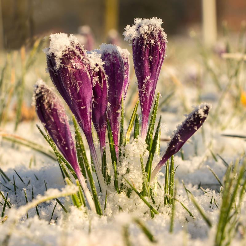 Krokus i snön royaltyfria foton