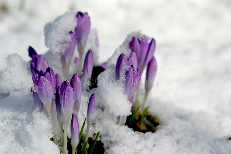 Krokus im Schnee (Frühling) lizenzfreie stockfotos