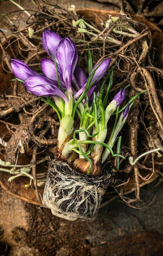 krokus na korzeniach i ziemi, wiosny ogrodnictwo, wierzchołek obrazy royalty free