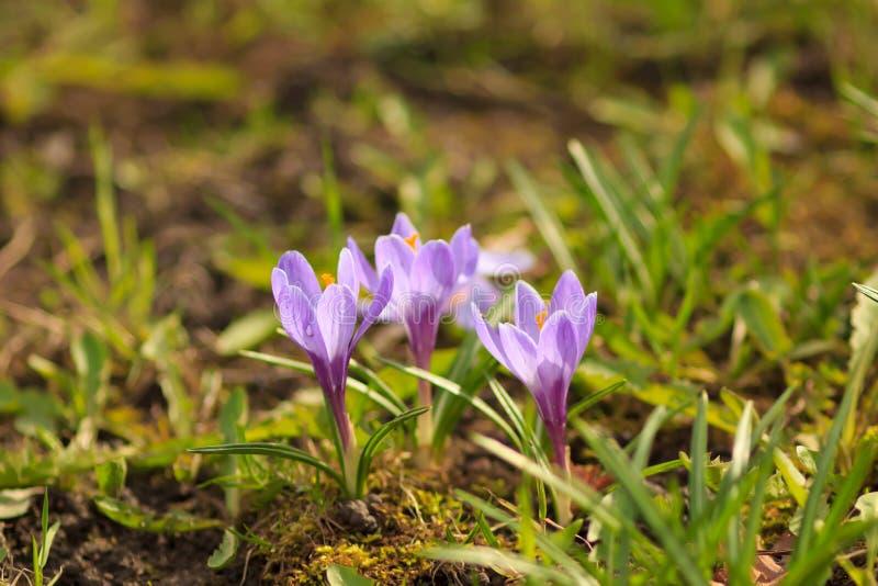 krokus najpierw kwitnie kwiatów ilustraci śniegu wiosna wektor obrazy royalty free