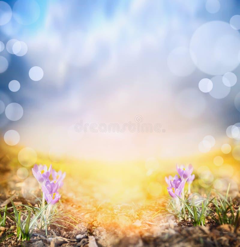 Krokus op zonnige weide tegen zonsonderganghemel, de lenteachtergrond royalty-vrije stock foto