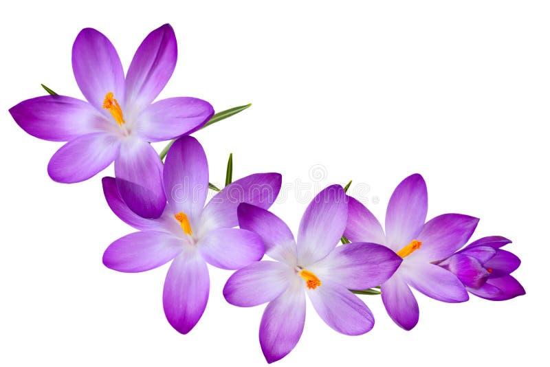 krokus purpury fotografia stock