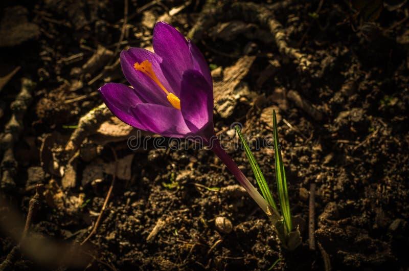Krokus - vårblomma fotografering för bildbyråer