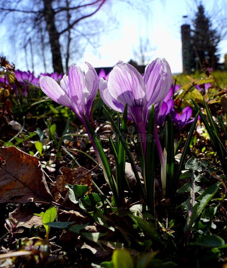 Krokus - violett variant royaltyfria bilder