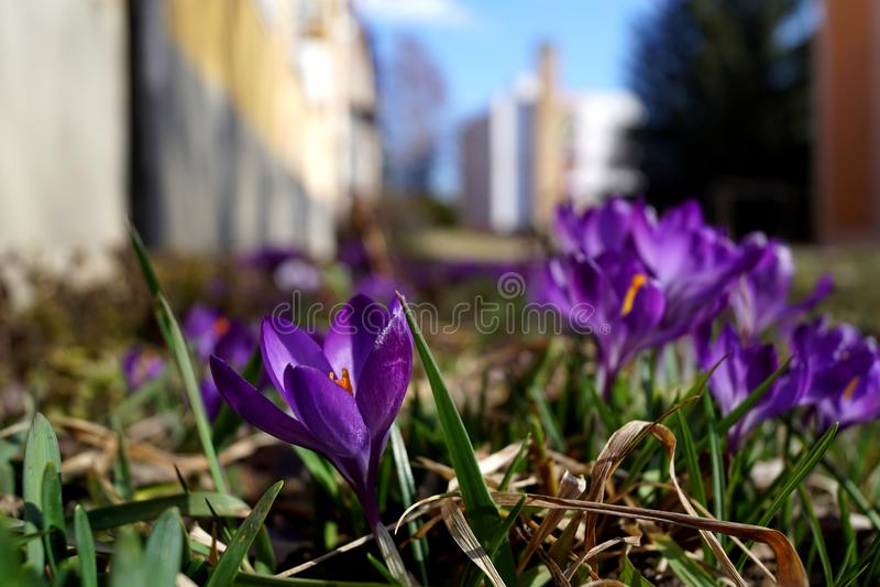 Krokus - violett variant arkivfoto