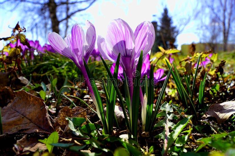 Krokus - violett variant royaltyfria foton