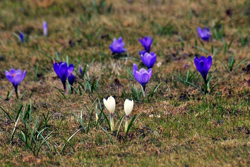 Krokus?w kwiat?w pole, biel i zmrok, - b??kit kwitnie przy zielonej trawy t?em zdjęcia stock