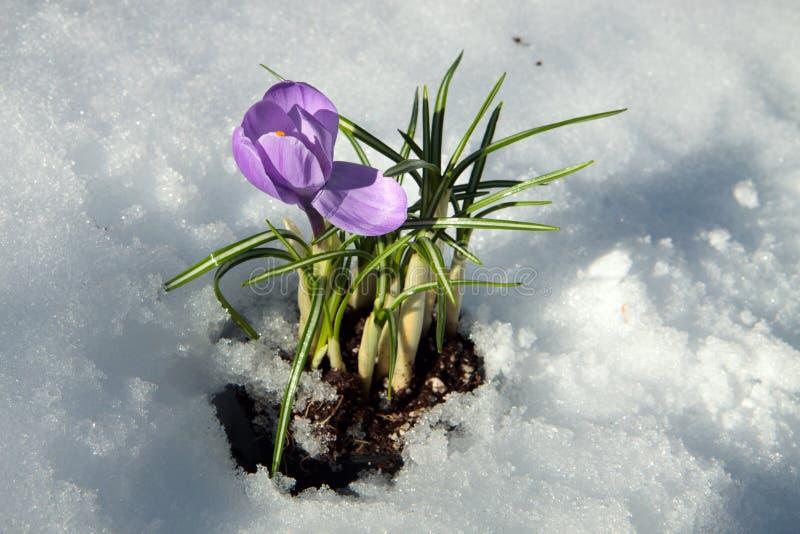 Download Krokus wiosna obraz stock. Obraz złożonej z śnieg, przestrzeń - 13342909
