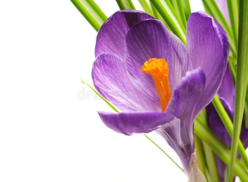 krokus wiosna fotografia stock