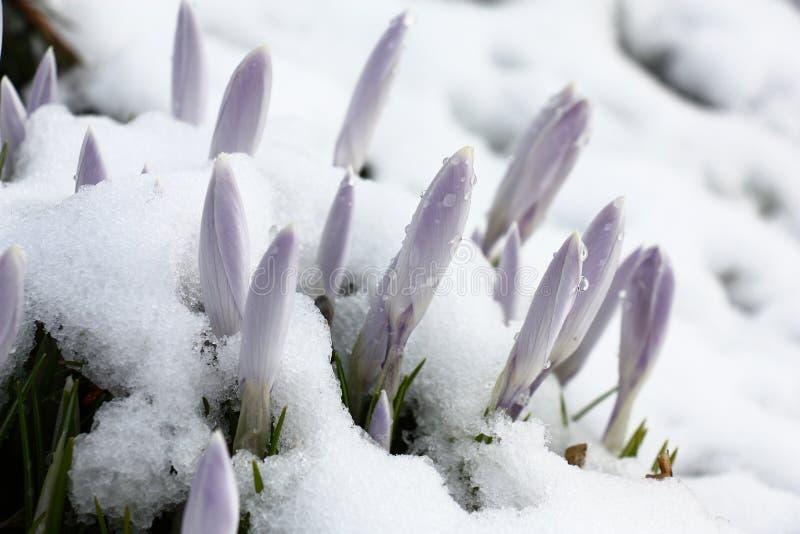 Krokusa śnieg nie zawadzanie fotografia royalty free