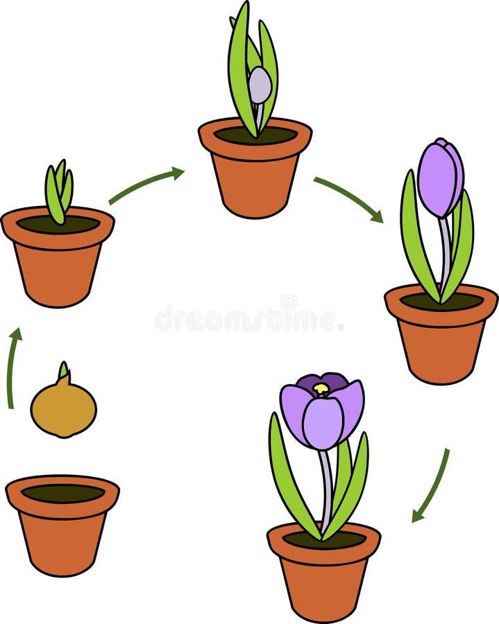 Krokusa etap życia ilustracja wektor