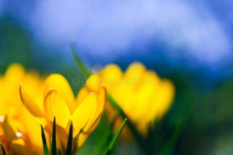 Krokusa kwiat obrazy stock