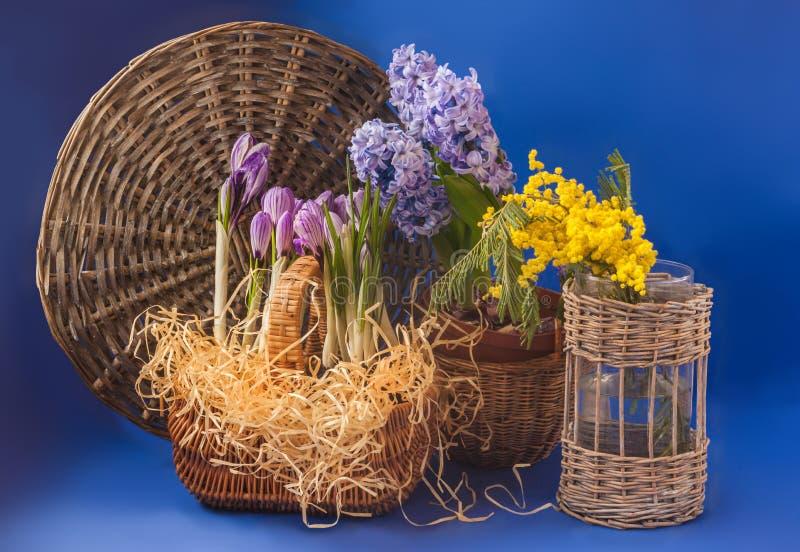 Krokusar, hyacinter och mimosa på en blå bakgrund fotografering för bildbyråer