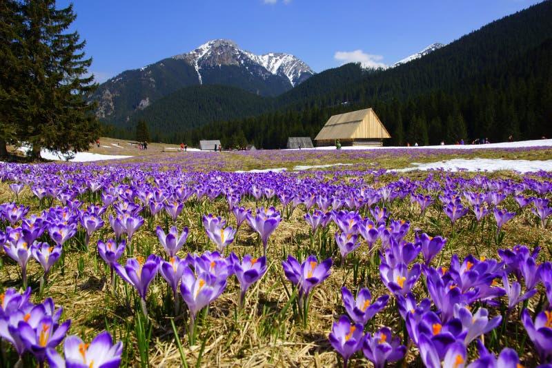 Krokusar i den Chocholowska dalen, Tatras berg, Polen royaltyfri foto